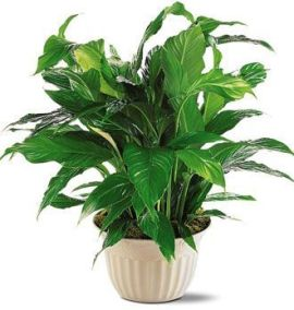 Deluxe Spathiphyllum Plant