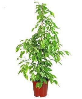 Benjamin Tree