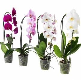 Цветущие Орхидеи 2 Ветки