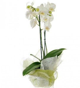 White Phalaenopsis Orchid 2 stems